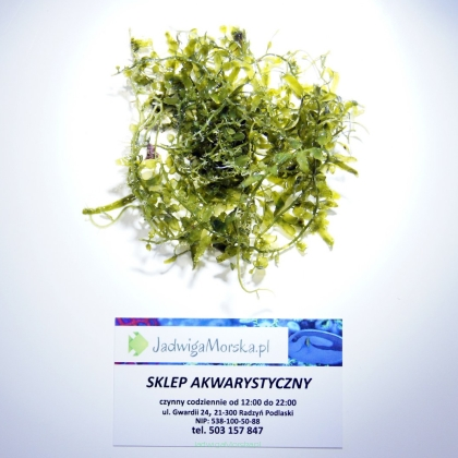 Caulerpa + mix (makroglony do refugium)