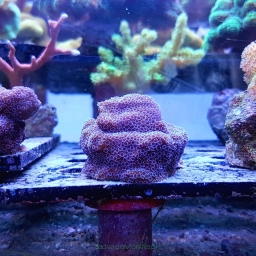 Montipora PURPLE HAZE
