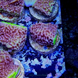 Montipora danae APPLE BERRY (foto 27.11.2019) sklep L4
